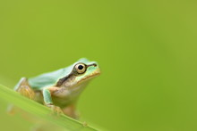 Tree Frog On Grass With Green Background.