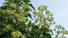 Honey Bees Feeding On Hedera H...