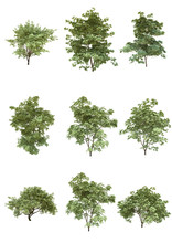 Japanese Maple Tree Summer Season On A White Background With Clipping Path.Realistic 3D Rendering....