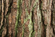 Embossed Thick Bark On The Trunk Of A Tall Old Pine In The Forest