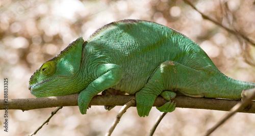Poster Chamaleon Beautiful camouflaged chameleon in Madagascar
