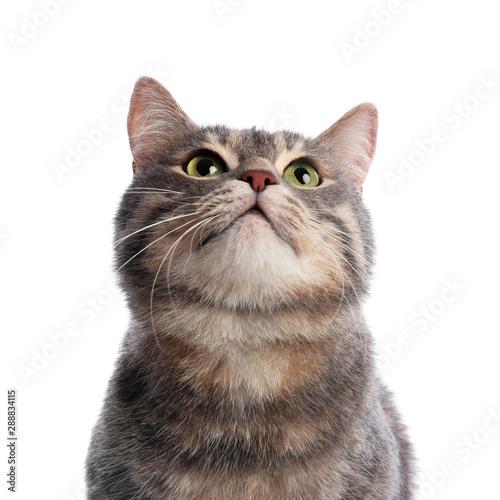 Obraz Cute gray tabby cat on white background. Lovely pet - fototapety do salonu