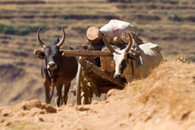 Zebu Cart Carrying Wood Over A...