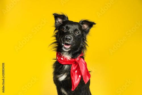 Obraz Cute black dog with neckerchief on yellow background - fototapety do salonu