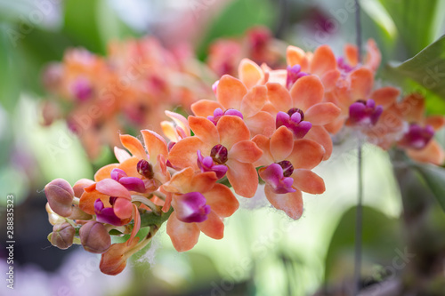 Obraz Orchid flower in orchid garden at winter or spring day for postcard beauty and agriculture design. Rhynchostylis Orchidaceae. - fototapety do salonu