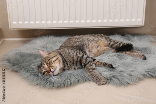 Fototapety, obrazy: Cute tabby cat on faux fur rug near heating radiator indoors