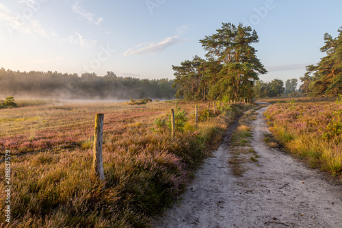 Fototapeten Natur The heather in bloom, picture form the wijers in limburg belgium during the morning
