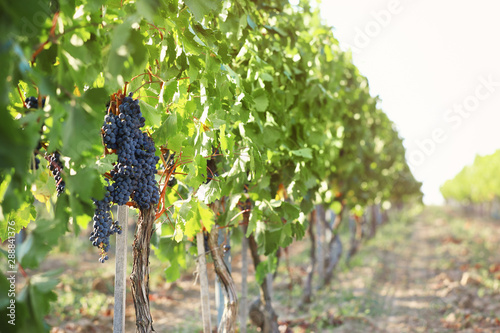 Photo sur Aluminium Vignoble Fresh ripe juicy grapes growing in vineyard