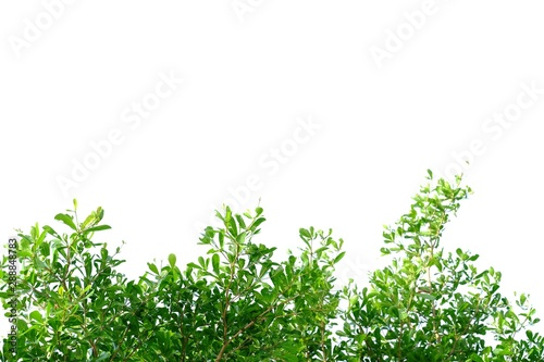 Fotografía  Tropical tree leaves with branches on white isolated background for green foliag