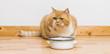 Leinwandbild Motiv grumpy cat looking at the food bowl