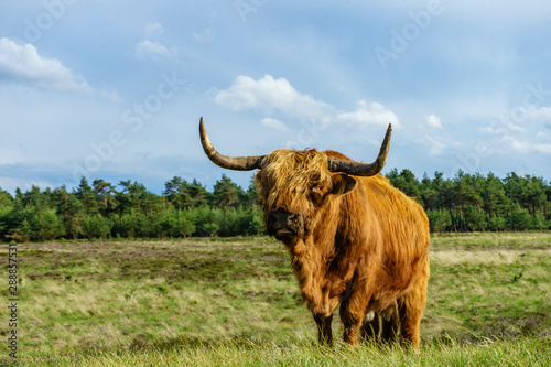 Wall Murals Natuur Schotse hooglander - Scottish highlander