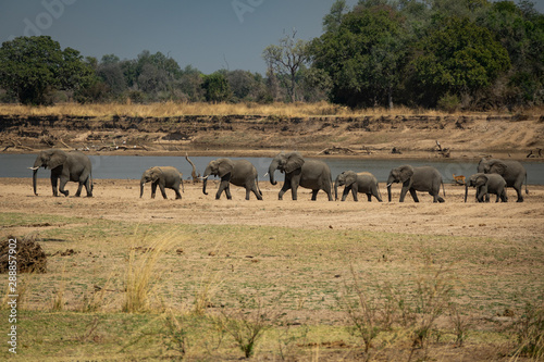 Obraz Family of elephants in a row protecting the smallest ones - fototapety do salonu