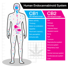 Human Endocannabinoid CB1 And ...