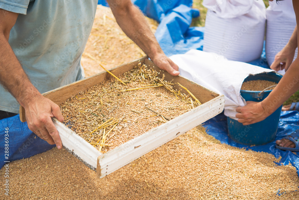 Fototapety, obrazy: Farmers manually clean the harvested grain.