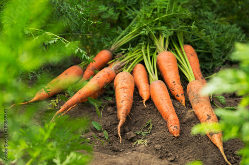 Stampa su Tela  Fresh harvest of carrots on the field in sunny weather