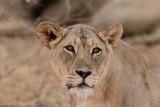 Lion, lionne, Panthera leo, Parc national du Kalahari, Afrique du Sud