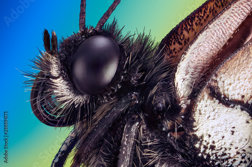 Extreme macro portrait of a butterfly Aporia crataegi taken with two lenses as one lens, stacked from many shots into one very sharp photo Wallpaper Mural