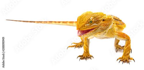 Photo Bearded dragon - Pogona vitticeps is smilling on a white background