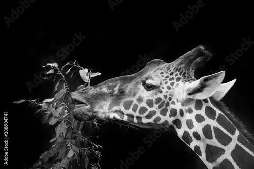 giraffe eating tree - black and white Wallpaper Mural