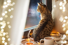 Pets, Christmas And Hygge Concept - Tabby Cat Looking Through Window At Home