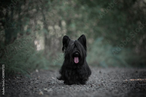 Fototapeta Skye Terrier black walking in the woods.