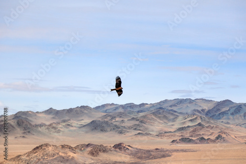 American Brown Bald Eagle In Flight Over Mongolian Mountain