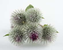 Burdock - A Weedy Plant With Tenacious, Prickly, Easily Detached Inflorescences Or Fruits, As Well As Such An Inflorescence Or Fruit.