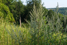 Flowering Common Mugwort Plants In Hilly Landscape