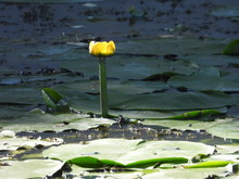 Water Lily - An Aquatic Plant With Large Leaves And White Or Yellow Flowers, Water Lily.