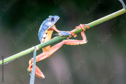 Spoed Foto op Canvas Kikker tree frog, Cruziohyla or Phyllomedusa calcarifer, climbing branch tropical Amazon rain forest. This tropical amphibian species lives rainforest of Colombia, Costa Rica, Ecuador, Nicaragua and Panama