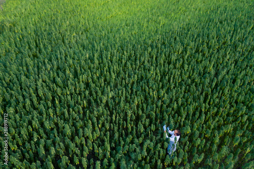 Tablou Canvas Areal shoot of scientist with magnifying glass observing CBD hemp plants on mari