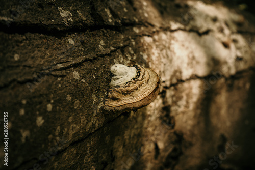 Fotografie, Tablou White polypore mushroom growing on a tree stump
