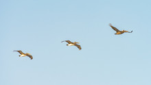 Three Pelicans Flying Overhead