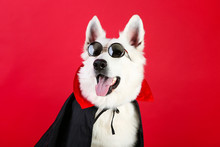 Swiss Shepherd Dog In Dracula Costume And Sunglasses On Red Background