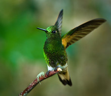 Buff-tailed Coronet Hummingbird (Boissonneaua Flavescens) Displaying With Wings Raised At The Bellavista Preserve Near Mindo, Ecuador. Momentary Display Is Made Each Time The Bird Lands.