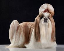 Precioso Perro Pura Raza Shih Tzu Con Un Peinado Extravagante Y Gracioso