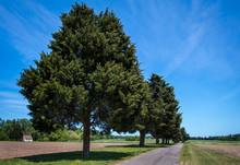 Eastern Redcedar (Juniperus Vi...