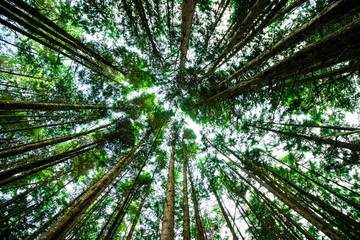 Giant green trees seen from below and seen on the sky, in the forest of ancient cedars on the road to Cathedral Grove on the island of Vancouver in Canada, close up, nature, photography effect