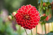 Red Dahlias Growing In A Garden