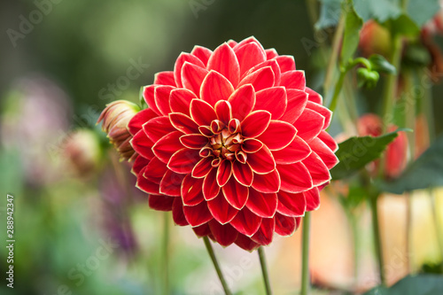 Deurstickers Dahlia Red Dahlias growing in a garden