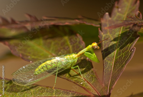 Green mantidfly (Zeugomantispa minuta), a species of lacewing that displays convergent evolution toward features of true mantids, including powerful grasping forelimbs Canvas-taulu