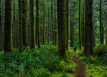 Hiker Admiring Ancient  Trees In Temperate Rain Forest Of Suislaw National Forest Along Cooks Ridge Trail At Cape Perpetua, Oregon.