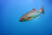 The Rainbow Trout (Oncorhynchus Mykiss) In The Lake.Trout In The Blue Water Of A Mountain Lake.
