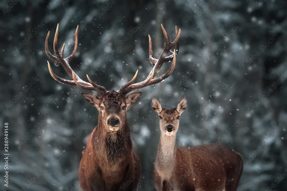 Fototapety, obrazy: Noble deer male and female in winter snow forest.