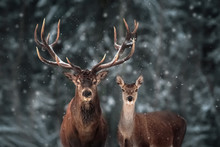 Noble Deer Male And Female In ...