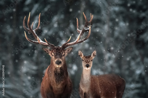 Montage in der Fensternische Hirsch Noble deer male and female in winter snow forest.
