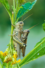 Dew-covered Differential Grasshoppers (Melanoplus Differentialis) In Mating Position On Flowering Stalk Of Wingstem (Verbesina Alternifolia). Smaller Male Is On Top.