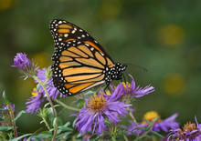 Monarch Butterfly (Danaus Plexippus) Nectaring On New England Aster (Aster Novae-angliae) In Early Fall In Preparation For Migration To Mexico.