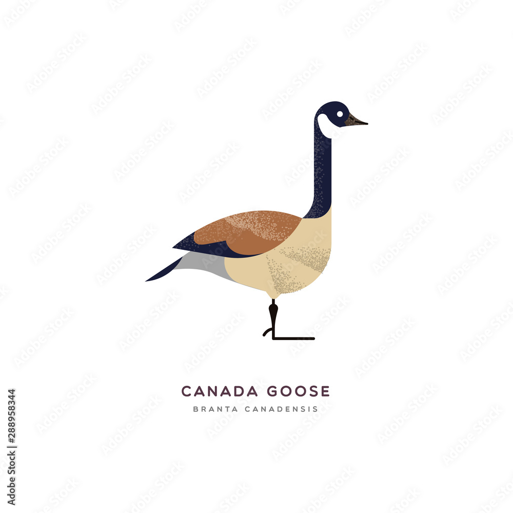 Fototapety, obrazy: Canada goose duck bird isolated animal cartoon