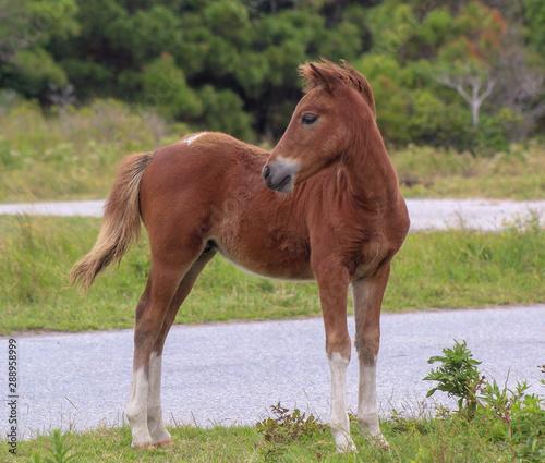 Assateague  Island wild colt pony